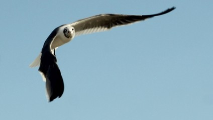 Flight of the Gull