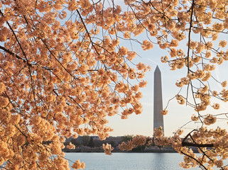 National Monument during cherry blossom in Washington DC