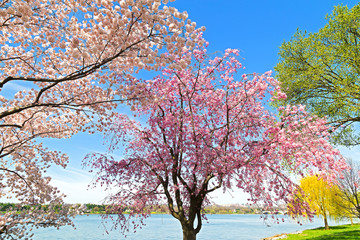 Peak of cherry blossom in Washington, DC.