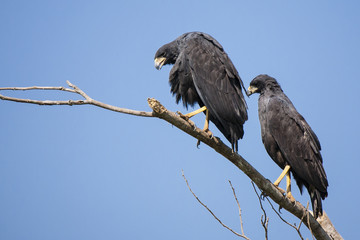 Pair of Great Black Hawks Perching on High Branch