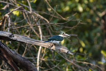 Sunlit Green Kingfisher on Branch Calling
