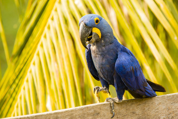 Closeup Smiling Hyacinth Macaw Walking in front of Palm