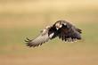 Lanner falcon (Falco biarmicus) landing
