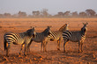 canvas print picture - Plains Zebras, Amboseli National Park