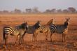 Plains Zebras, Amboseli National Park