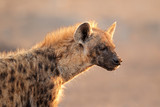 Spotted hyena portrait, Etosha National Park