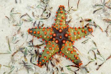 Colorful starfish, Zanzibar island