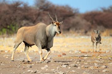 Eland antelope, Etosha National Park