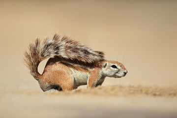 Ground squirrel, Kalahari desert