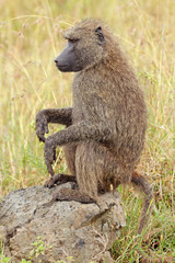 Olive baboon, Lake Nakuru National Park