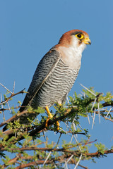 Rednecked falcon, Etosha National Park