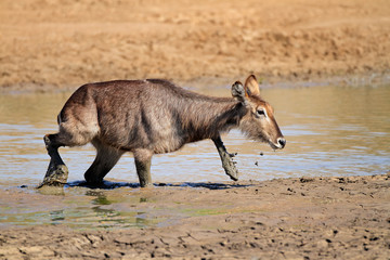 Waterbuck in mud, Pilanesberg National Park