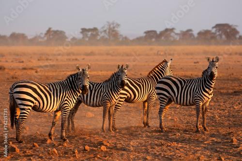 canvas print picture Plains Zebras, Amboseli National Park