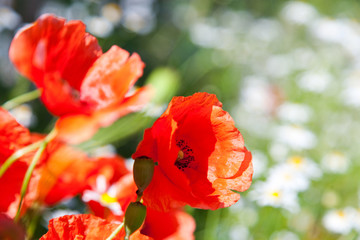 spring in garden - flowers - red poppy