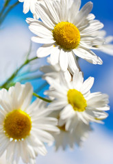 spring in garden - flowers - white daisy