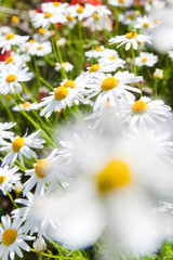 spring in garden - flowers - white daisy