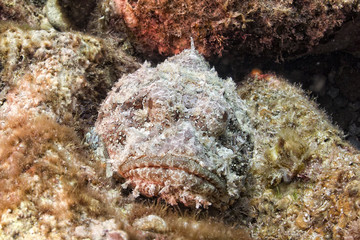 Dangerous Stone Fish portrait
