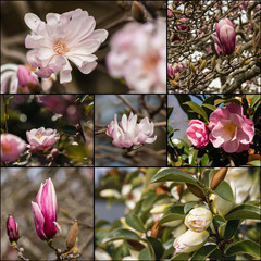 camellia and magnolia flowers collage