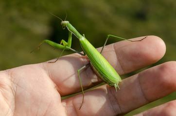 mantide religiosa verde su una mano