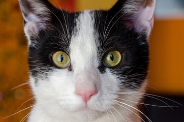 close-up di un gatto bianco con macchie nere