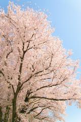 桜 満開 空