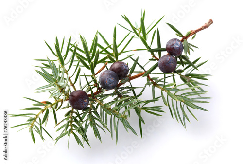 Juniper twig with berry - 76243386