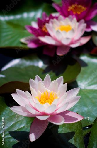 Fotobehang Water planten water Lilies