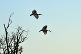 Couple of sacred ibises in flight poster