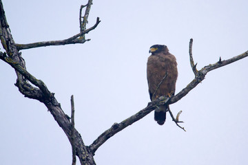 Crested serpent eagle.in Bardia, Nepal