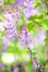 Spring purple lilacs