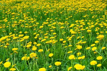 Field of ellow dandelion flowers