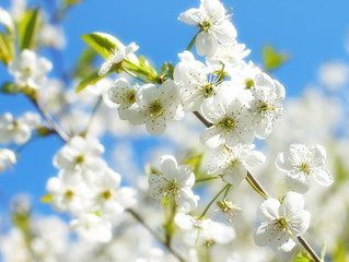 Flower background with branch of white spring blossom.