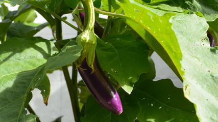 Vegetables, eggplant, Aubergine, camera dolly