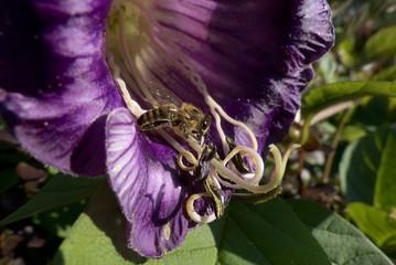 Biene auf Glockenrebe