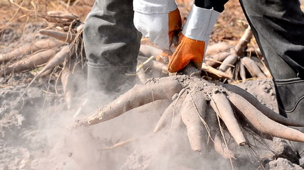 Farmer pull and harvesting cassava over dry soil