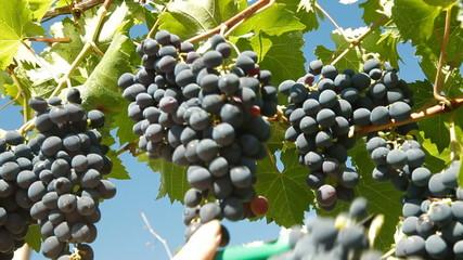 Dark Blue Grape Harvesting