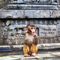 Young macaque monkey at Swayambhunath temple, Nepal