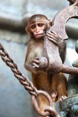 Macaque at Pashupatinath temple, Nepal