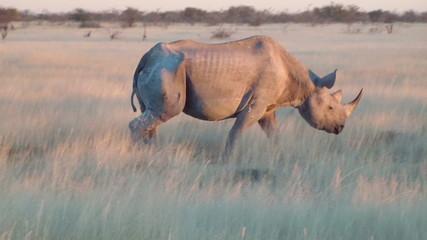 Old rhino close up walking field Etosha Namiba Africa