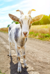 goat in summer outdoors in nature