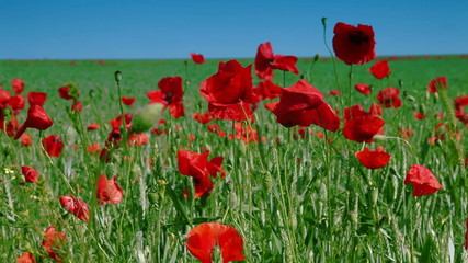 Poppies and green wheat field in spring