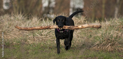Foto op Canvas Dragen working dog