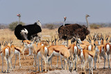 Ostriches and springboks