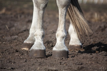 Close up of gray horse legs