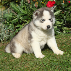 Beautiful puppy of siberian husky in the garden