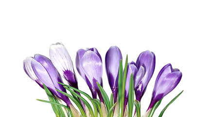 Violet flowers of crocus isolated