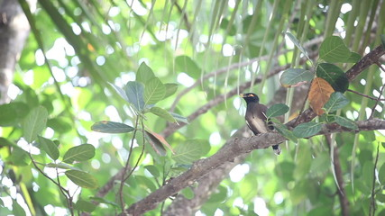 Indian woodpecker cratched on branch and sing express