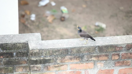 Indian woodpecker bird sit on a brick wall and fly