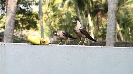 crow fly on coconut next to other crow prevents her from reachin