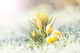 crocus jaune dans la gelée du matin